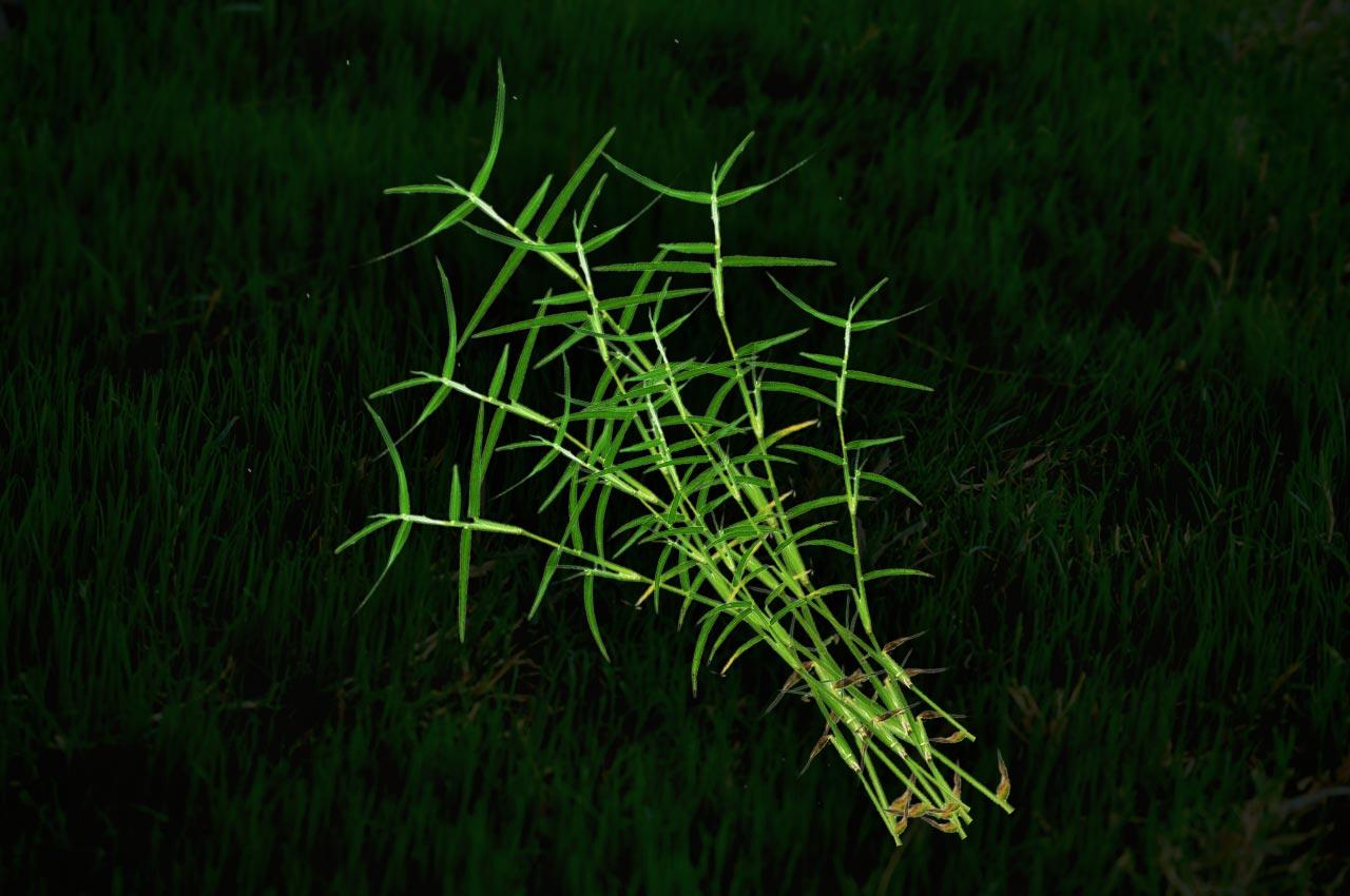 Dhruva Grass